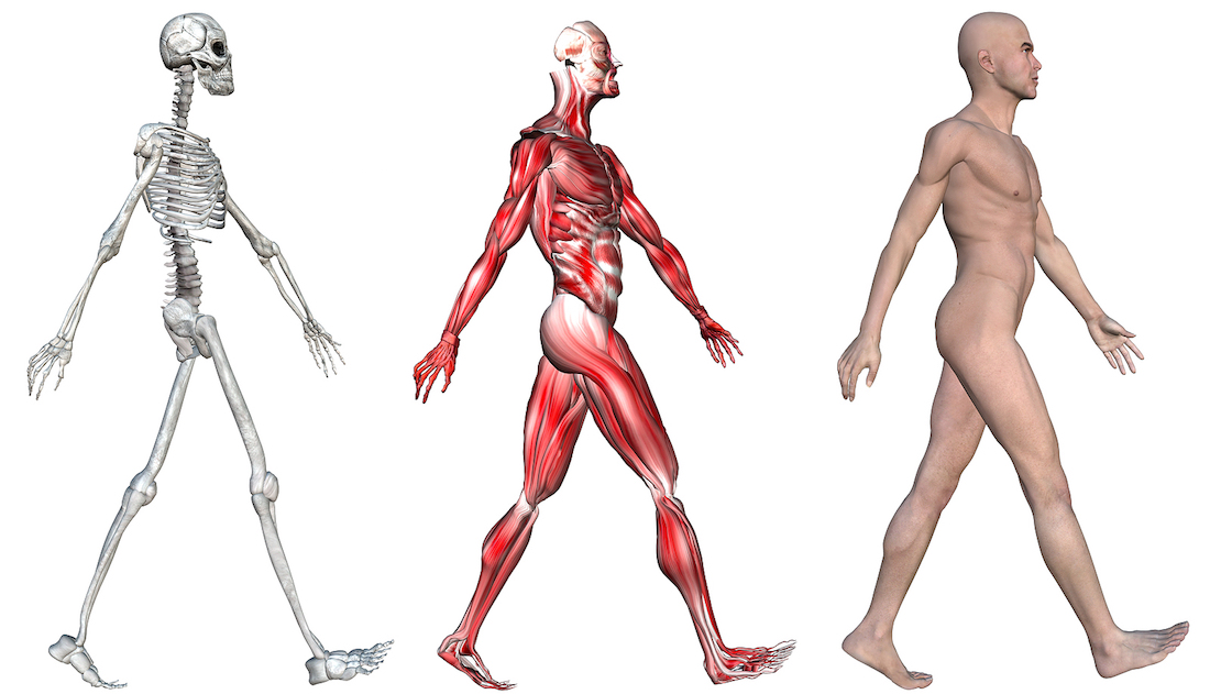 bigstock-Anatomical-illustration-of-the-16771262